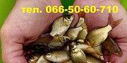 Продам малек (зарыбок) КАРПА тел. 066-50-60-710 Доброполье