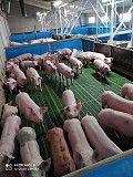 Поросята купить со свинокомплекса Киев