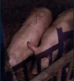 Продам 2 свиньи на выбор Кировоград