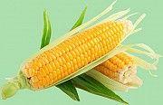 Кукуруза продать. Кукуруза куплю Днепр