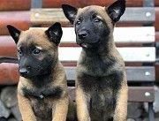 Продаются щенки немецкой овчарки малинуа Киев