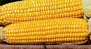 Кукуруза куплю. Закупаем кукурузу. Сумы