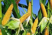 Кукурудза куплю. Закуповуємо кукурудзу. Сумы