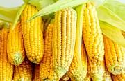 Куплю кукурузу, любые объемы Чернигов