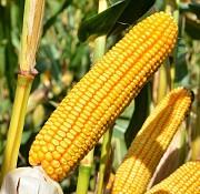 Куплю кукурудзу, будь-які обсяги Чернигов