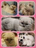 Шотландский вислоухий котенок, маленькая принцесса!(скотиш фолд) Запорожье