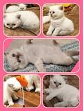 Шотландский котенок, маленькие принцессы!(скотиш страйт) Запорожье