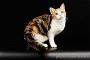 В дар. Бакса- Американская короткошерстная кошка- девочка Киев