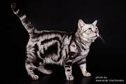 В дар. Американская короткошерстная кошка- девочка Киев