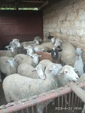 Продам Вівці Тростянец