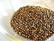 Семена кориандра Пуэбло. Посевной материал кориандр Pueblo Ровно