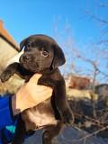 Продам щенков лабрадор Николаев