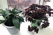 отдам комнатные растения Вышгород