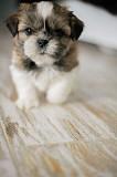 Продам щенков Ши-тцу. Днепр