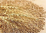 Зерноотходы зерновые, масличные, бобовые Дніпро