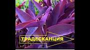 Комнатные цветы Традесканция Киев