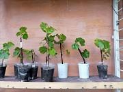 Продам вегетуючі саджанці винограду Белая Церковь