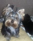 Отдам в хорошую семью щенка йоркширского терьера Днепр