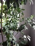 Продам деревья и саженцы комнатных лимонов Дружковка