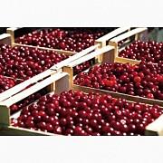Прием вишни у заготовщиков и населения Черкассы