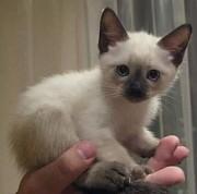 Сиамские котята 2 месяца Одесса