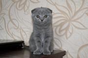 британские котята вислоухие и прямоухие Доброполье