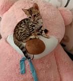 Кошка Бенгальская Винница