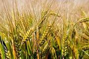 Зерновые отходы. Масличные, бобовые зерноотходы Черкассы