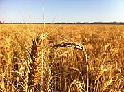 Зернові відходи. Олійні, бобові зерновідходи Чернигов