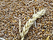 Постоянно закупаем зерноотходы масличные, зерновые, бобовые! Кировоград