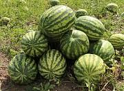 Продам арбузы, новый урожай! Лубны