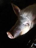 Продам свиню жива вага Фастов