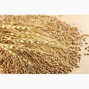 Постоянно закупаю зерноотходы зерновые, масличные, бобовые! Днепр