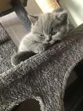 Котята британцы голубые Верхнеднепровск