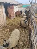 Продам Романівські вівці, чистокровні короткохвості Ахтырка